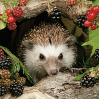Serwetki 33x33 cm - Hedgehog