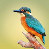 Servilletas 33x33 cm - Kingfisher