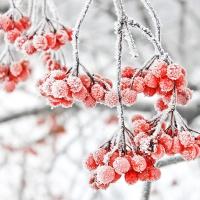 Napkins 25x25 cm - Iced Berries