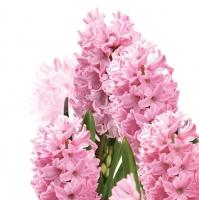 Napkins 33x33 cm - Pink Hyacinths