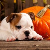 Serviettes 33x33 cm - Autumn Dog