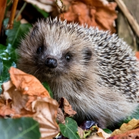 Servilletas 33x33 cm - Autumn Hedgehog