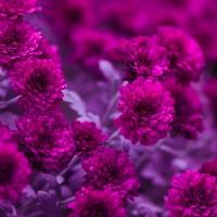 Napkins 33x33 cm - Fuchsia Flowers