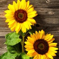 Servilletas 33x33 cm - Two Sunflowers