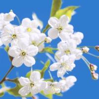 Napkins 33x33 cm - Blossom & Sky