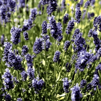 Servilletas 33x33 cm - Lavendel field