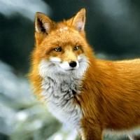 Napkins 33x33 cm - Forest fox