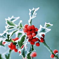 Serviettes 24x24 cm - Frosty holly