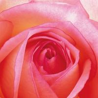 Serviettes 33x33 cm - Rose 33x33 cm