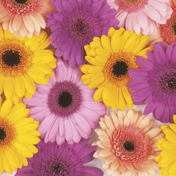 Napkins 33x33 cm - Colourful Gerberas Background