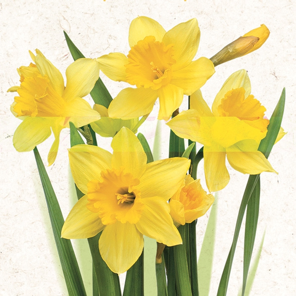 Serviettes 33x33 cm - Bunch of Yellow Daffodils