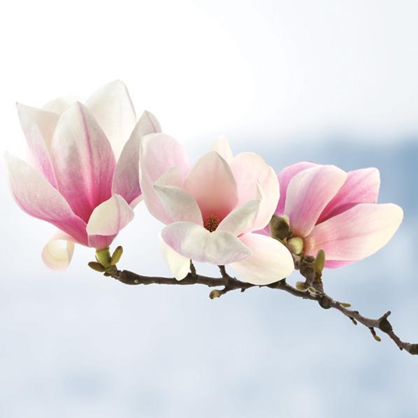 Napkins 33x33 cm - Magnolia Twig Light Blue