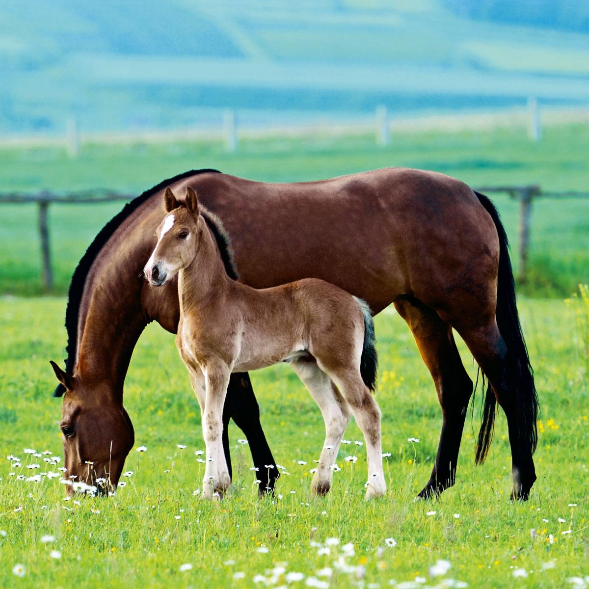 Napkins 33x33 cm - Pair of Horses