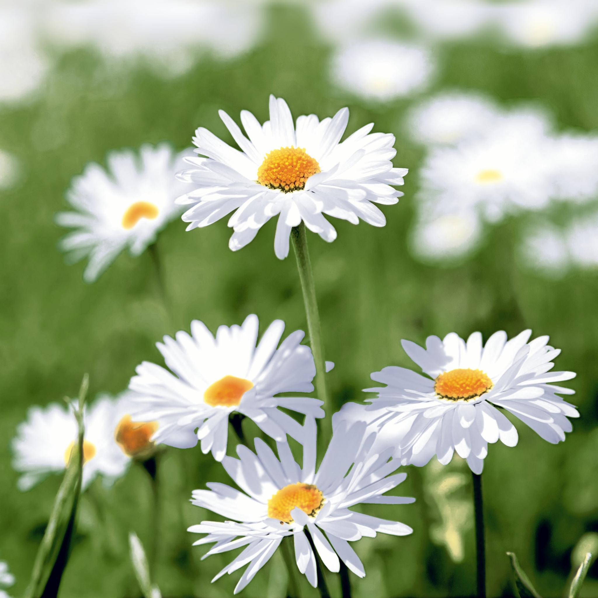 Napkins 33x33 cm - Full of daisies