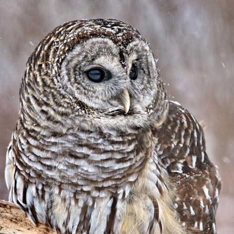 Napkins 33x33 cm - Barred Pattern Owl